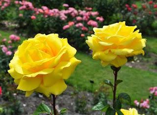 Gambar Bunga Mawar Cantik 2