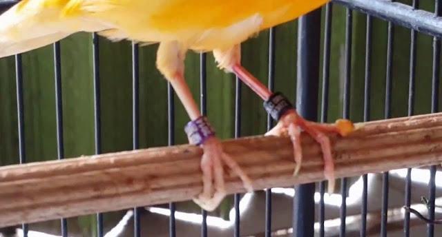 Cara Mencegah dan Mengobati Bengkak Pada Kaki Burung Kenari