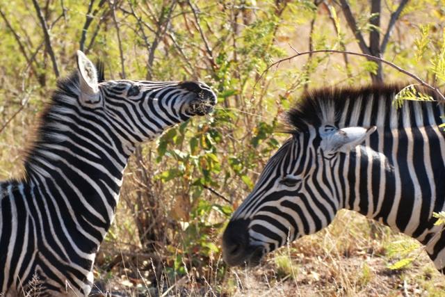 Jirafas de Kruger