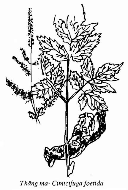 Hình vẽ Thăng Ma - Cimicifuga foetida - Nguyên liệu làm thuốc Chữa Cảm Sốt