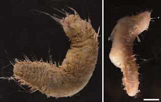Photo of two specimens of Flabegraviera Sp.