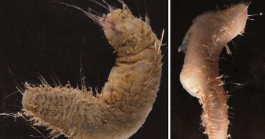 New Species of Polychaete Worm Discovered in Antarctica