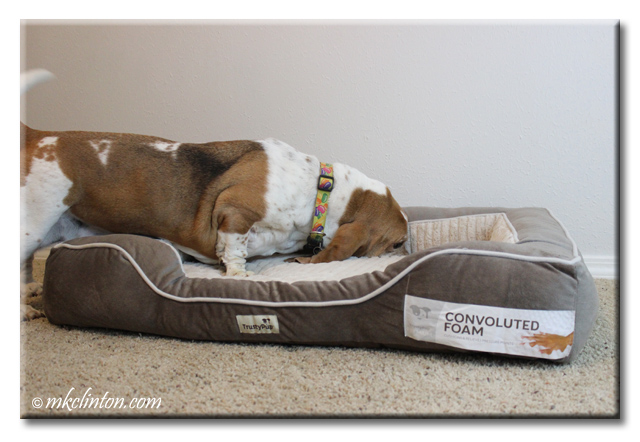 Bentley Basset Hound sniffing the deep convoluted mattress of his TrustyPup bed