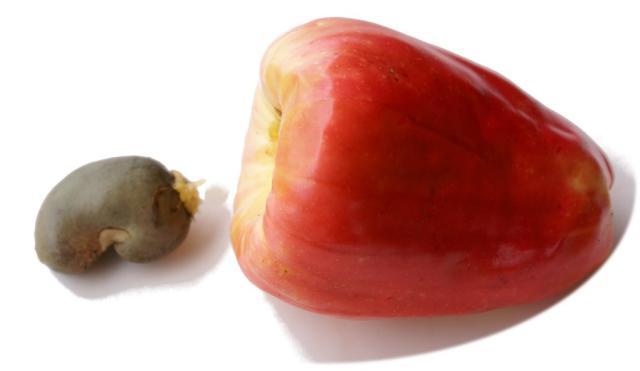 manfaat dan khasiat buah jambu mente untuk kesehatan