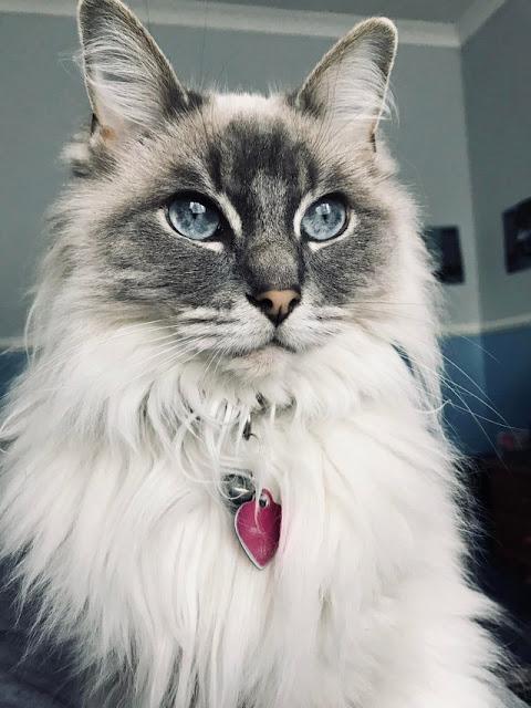 Elizabeth the rag doll cat