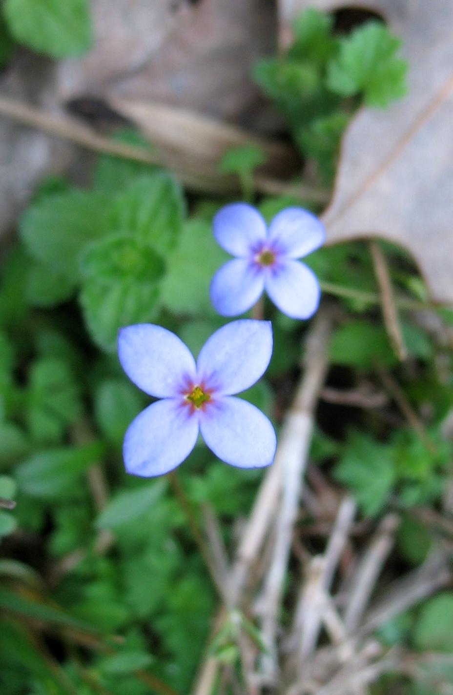 Using Georgia Native Plants: Bluets, Beauties and ...