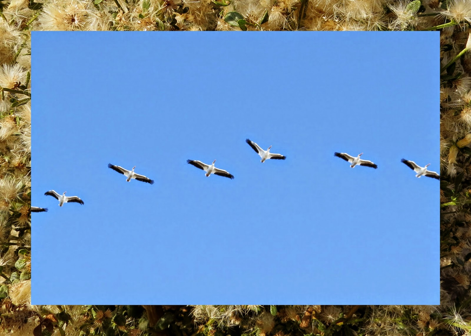 Alviso - Pelicans in Flight