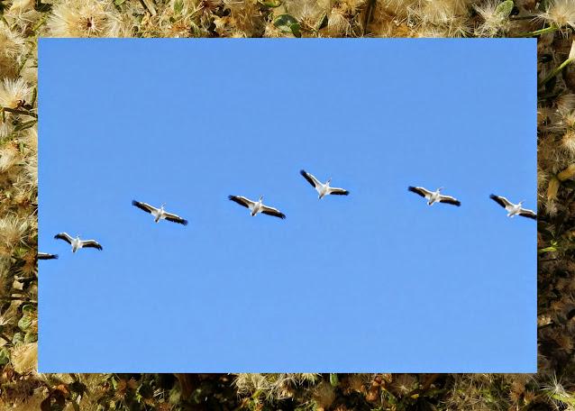 Bird watching Bay Area - Alviso - Pelicans in Flight