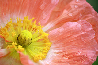 Poppies Poppy pink peach yellow - Rain drops dew - Spring flower