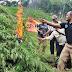 Salud! 16 Hektare Ladang Ganja Temuan di Musnahkan