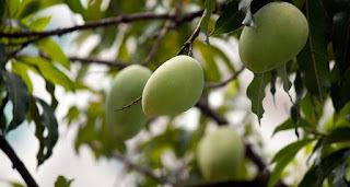 Pemakanan dan Kebaikan Mango