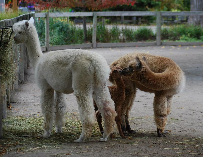 Baby Animals: Cria 12