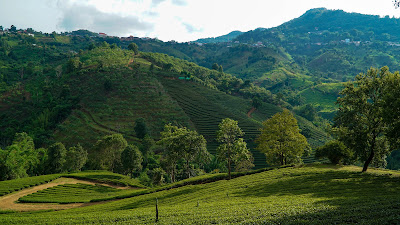 Rolling hills of oolong tea