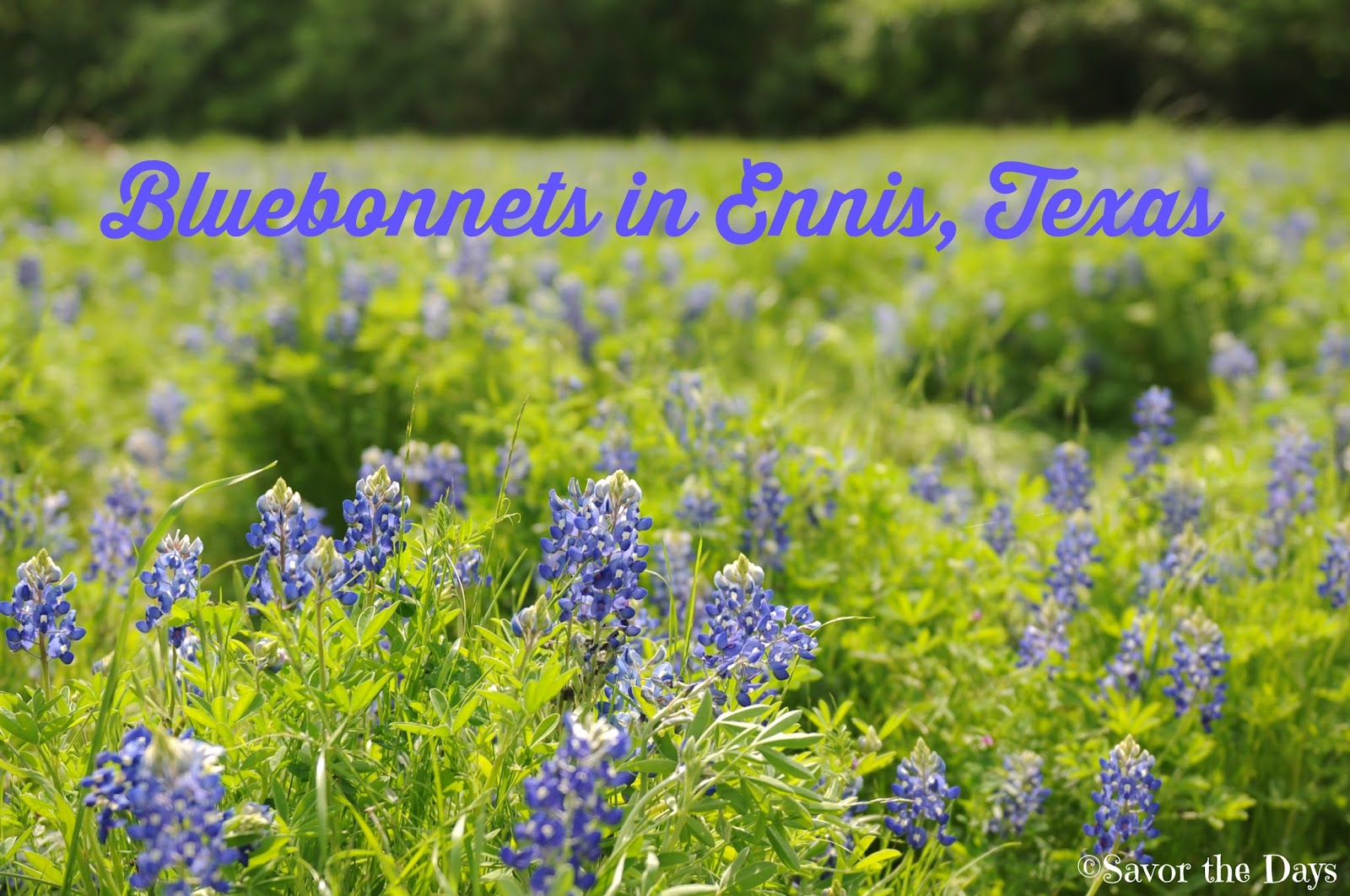 savor the days bluebonnets in ennis texas