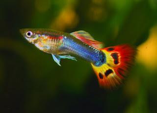 Cara Mengatasi Penyakit ikan guppy