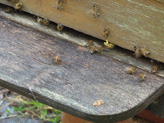 abeilles sur la planche d'envol