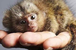 Необычные приматы, карликовая игрунка