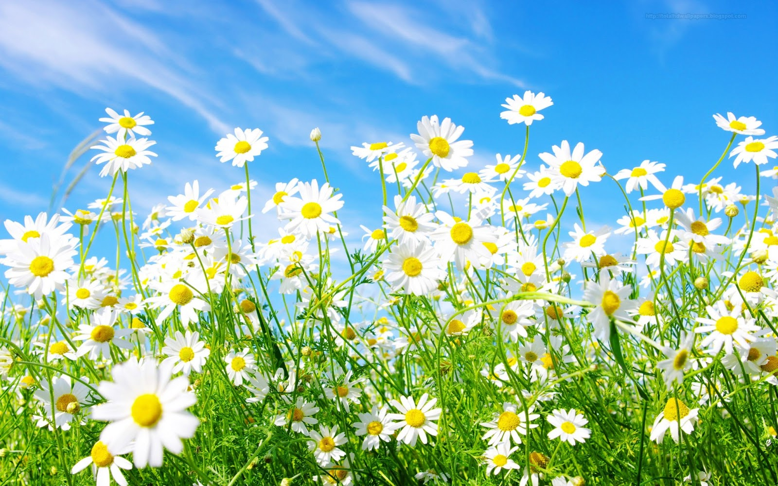 Daisy wallpapers hd
