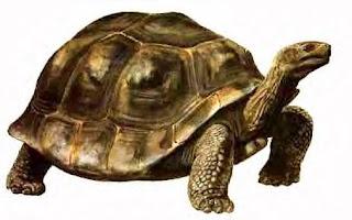 tortugas del mioceno Colossochelys