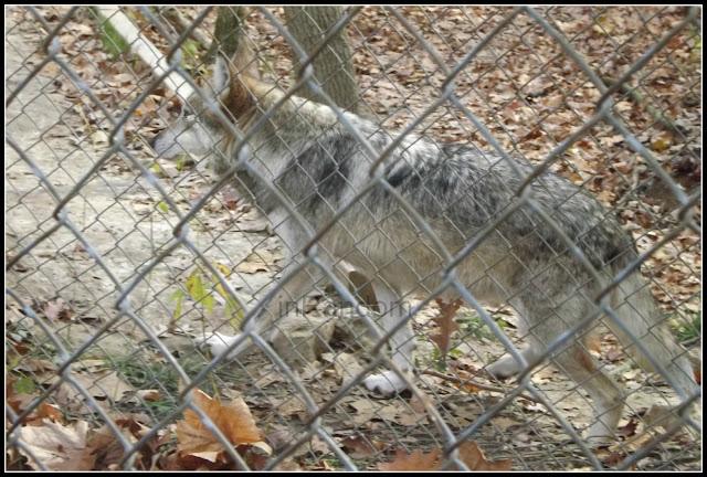 Missouri Endangered Wolves