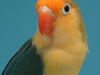 Asal Usul Dan Cara Menghasilkan Lovebird Parblue