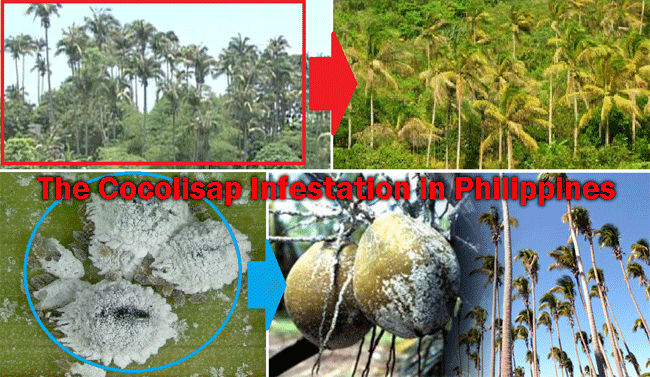 The Cocolisap Infestation in Philippines