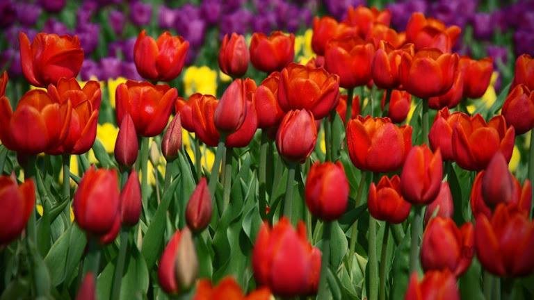 Tulips Flowers HD Wallpaper 13