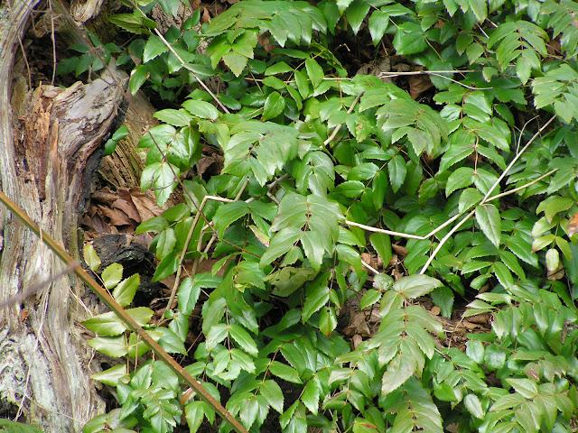 oregon grape wild edible plants