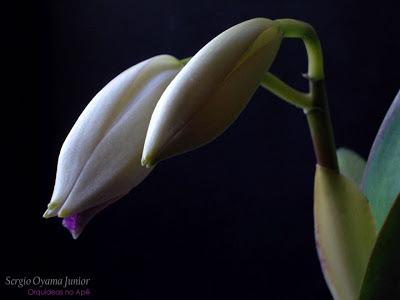 Botões florais da orquídea Cattleya labiata caerulea