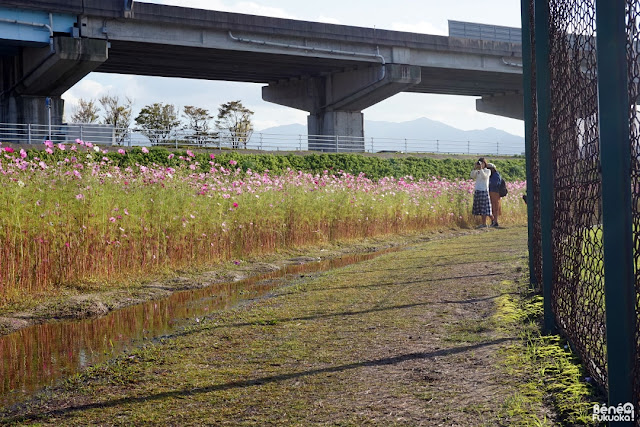Cosmos field, Fukuoka Camera Walk