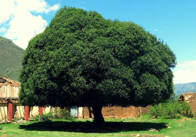 Árbol de Quina