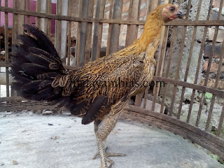 Ayam Pelung Usia 5 Bulan