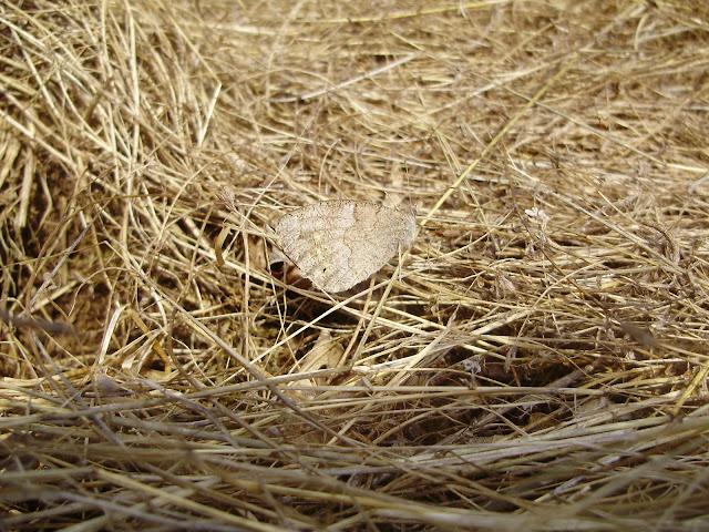 Mariposa Hipparchia statilinus