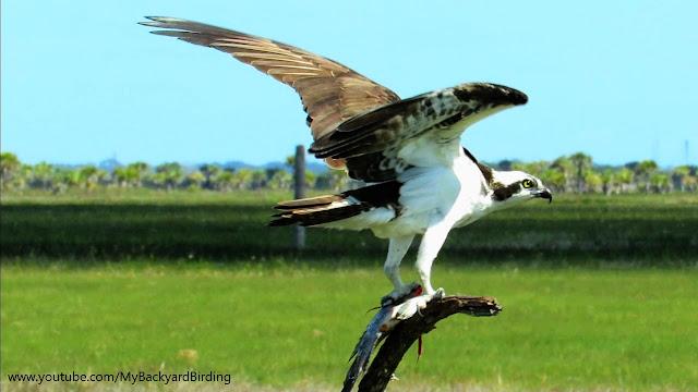 Osprey Eating Fish - Extreme Close Up