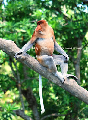 Proboscis Monkey picture