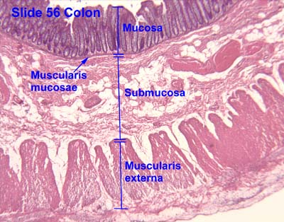 HISTOLOGY PICTURES: Lower Gastrointestinal Tract