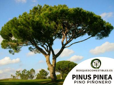 El Pino piñonero, Pinus pinea, es un árbol robusto, con un sistema radicular bien desarrollado