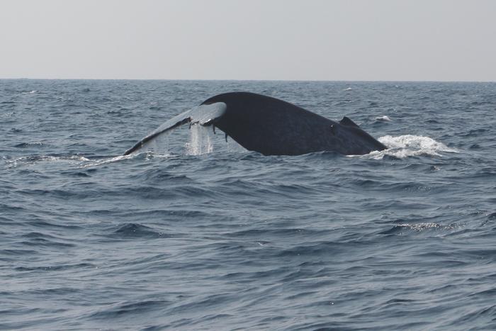 Blauwal vor Sri Lanka