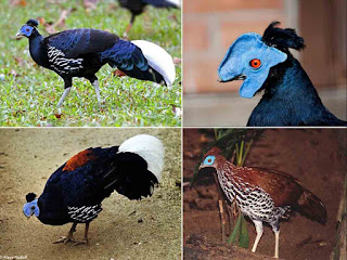 Ternak Ayam Sempidan Biru Sumatera