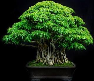 bonsai beringin padi