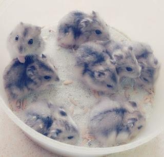 Penyebab dan Cara Mengatasi Agar Hamster Tidak Bau
