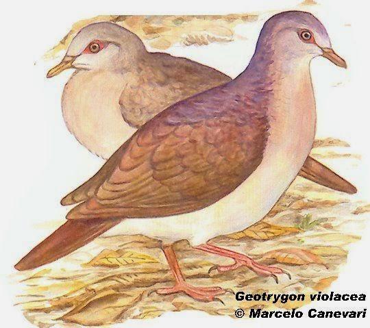 Violaceus quail dove