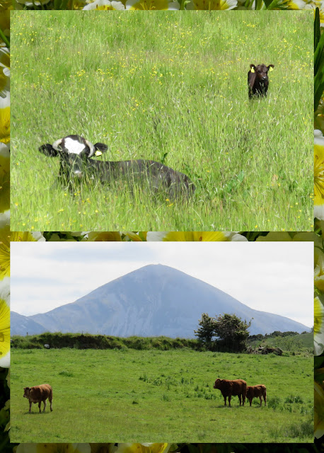 Cycling the Great Western Greenway - County Mayo, Ireland - Happy Cows
