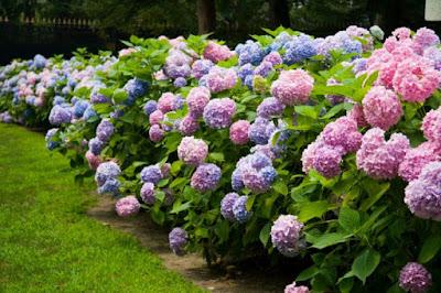 Tukang taman surabaya tanaman hias hortensia