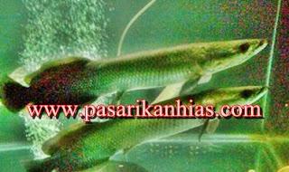 Harga Ikan Arapaima Di Indonesia