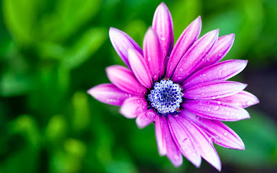 صور ورد وأزهار مميزة wet_daisy-wide.jpg