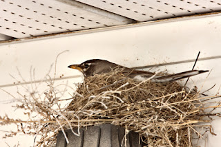 Photo of a robin in a nest