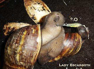 Sexe escargot géant