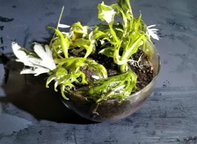 鉢植えに残ったウォーター・ウィステリアの根と鉢