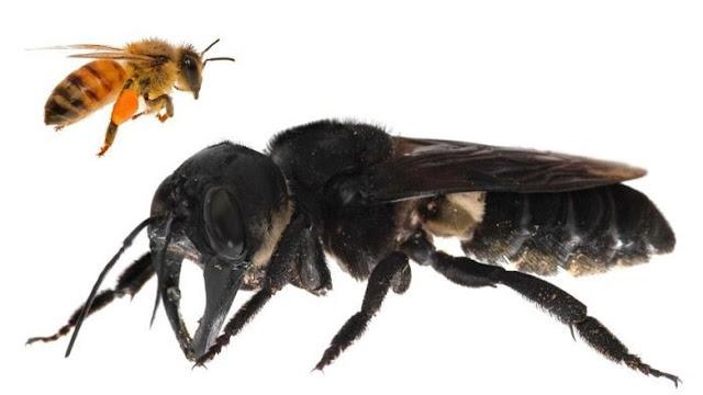 Sudah Lama Punah, Peneliti Kembali Temukan Lebah Raksasa di Maluku